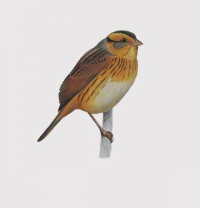 Nelson's Sharp-tailed Sparrow