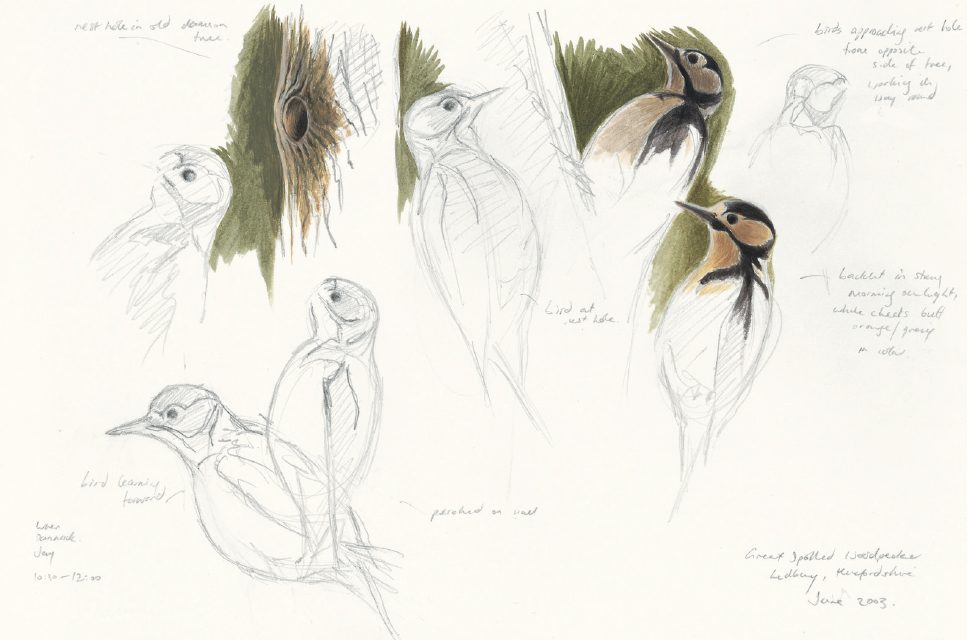 Great spotted woodpecker studies